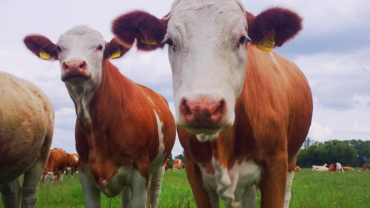 Agrargenossenschaft Bartelshagen I e.G. - Rinder
